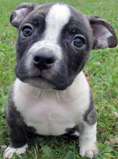 pitbulls with blue eyes pitbull puppies for sale red wallpaper hd desktop  pitbull gray baby pitbulls ...