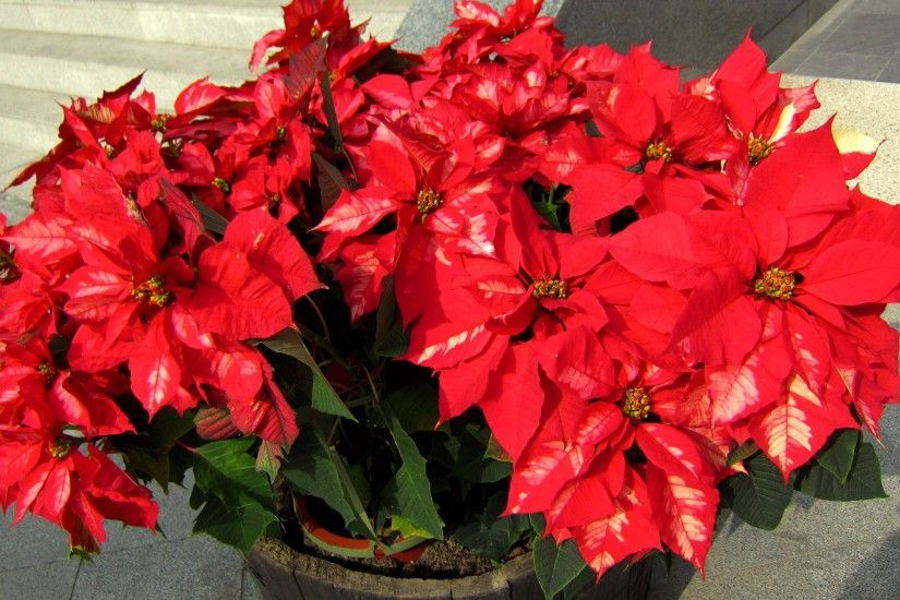 Flowering Plant Red Flower Christmas Roadside Poinsettia Wallpaper  Beautiful - 2575x1457