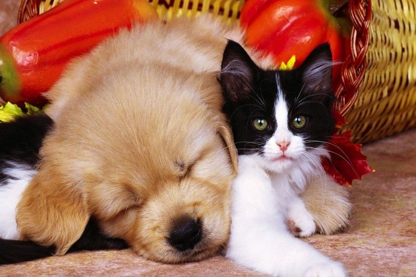 Pics Photos Free Download Pets Pic Cat And Dog Wallpaper