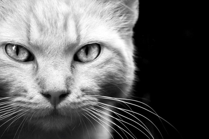 fur, eyes, mobile phone,animals, background images, black,kitten, felines,  whiskers pet, monochrome, face, white, cats, free,_1920x1200 Wallpaper HD