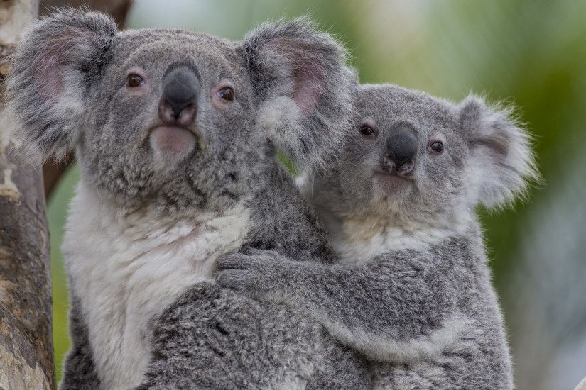 Cute Koala Wallpaper - WallpaperSafari The 29 Cutest Koalas That Ever  Roamed The Earth ...