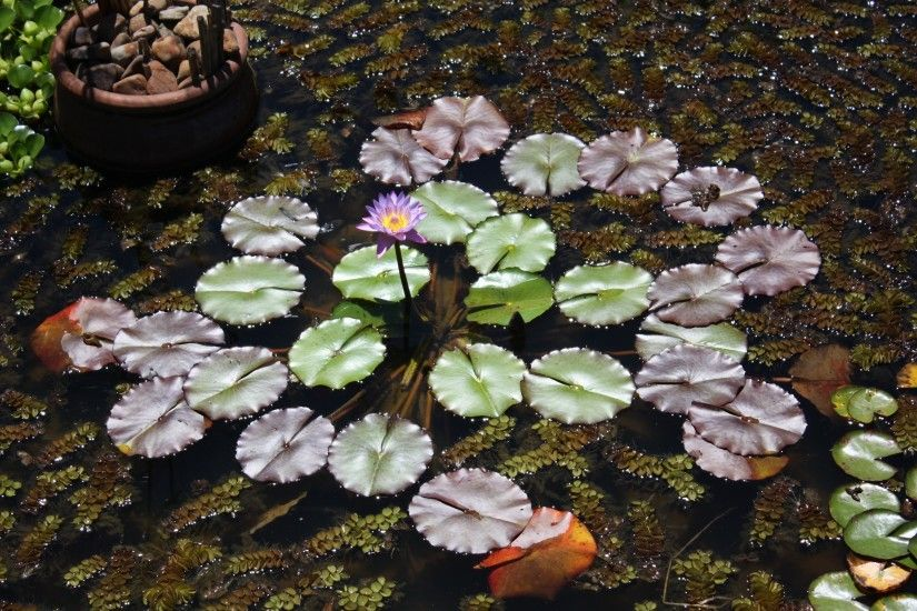 Earth - Water Lily Flower Purple Flower Lily Pad Earth Nature Pond Wallpaper