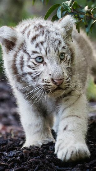cute-cub-bengal-white-tiger-h2.jpg