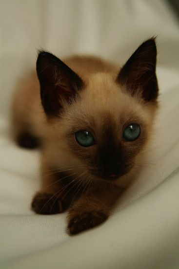 Sweet Behaviors Of Female Siamese Kittens | Tripsandthecity With When Do  Siamese Cats Change Colors