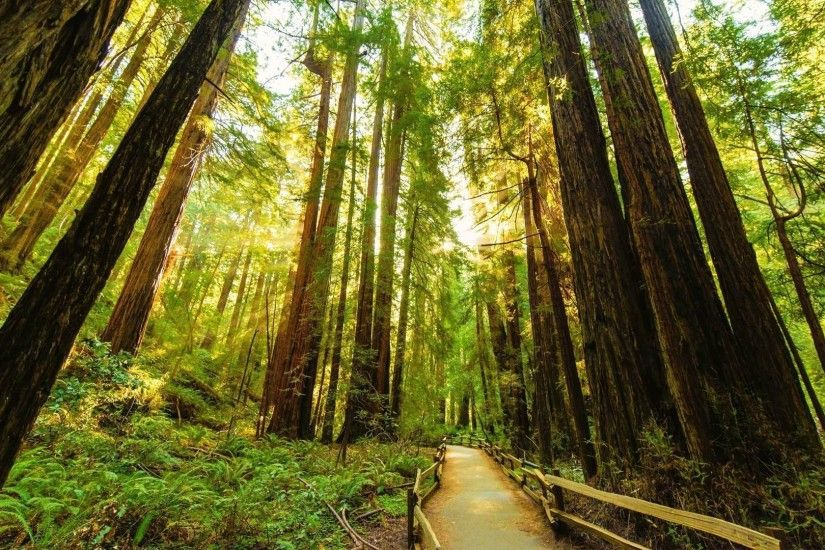 Fenced road through the redwood trees wallpaper