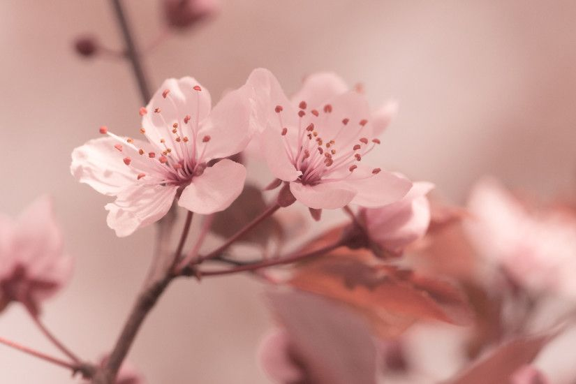 ... flowers, focus, cherry, sakura, hd, wallpaper, spring, background