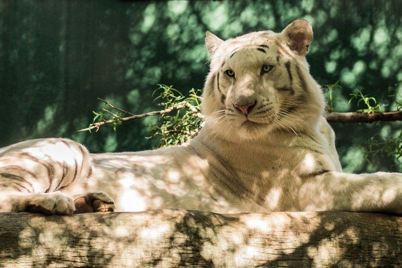 Preview wallpaper white tiger, wolf, timber, cat, tiger 3840x2160