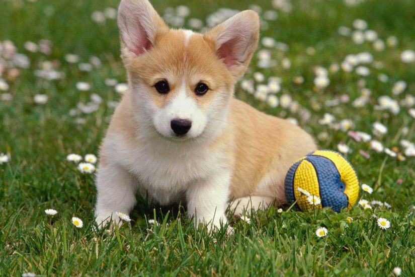 Cute Pembroke Welsh Corgi Puppy Wallpaper