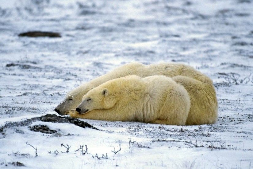 Preview wallpaper polar bear, couple, sleep, snow, lie 1920x1080