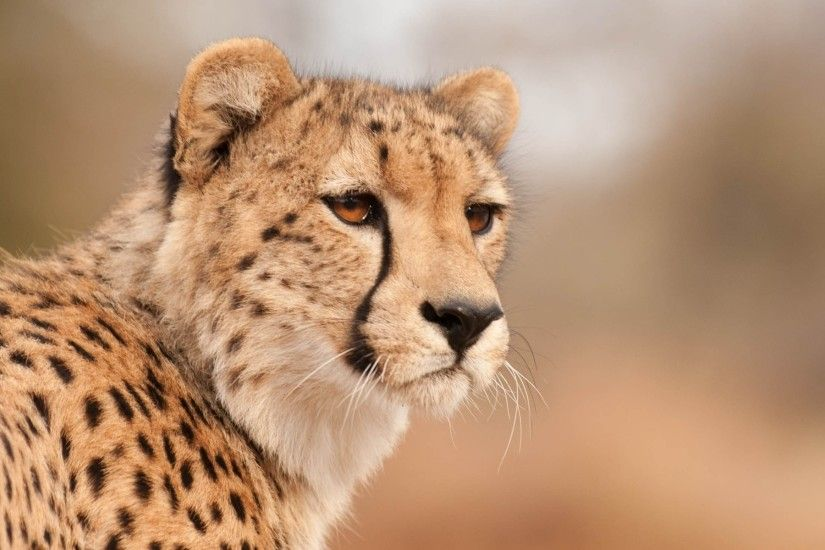 wild animal cheetah wallpaper hd background download windows 4k 1920×1200  Wallpaper HD