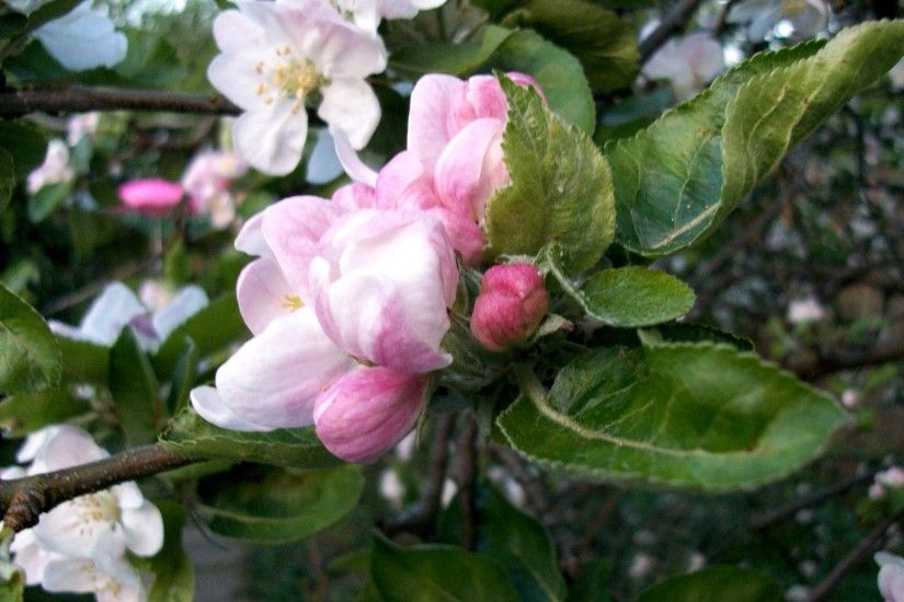Pin Apple Blossom Wallpaper on Pinterest