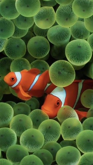 Classic iOS clownfish wallpaper ...