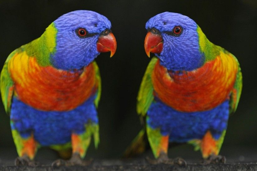 free Birds Parrots wallpaper, resolution : 1920 x tags: Birds, Parrots,  Rainbow, Lorikeet.