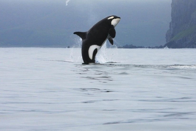 Killer Whale Desktop Wallpapers 12265 – Amazing Wallpaperz