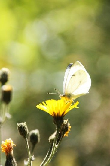 white butterfly and yellow flower
