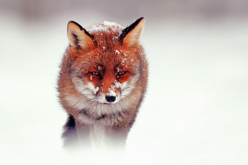 free fox wallpaper 1920x1200 for iphone 5
