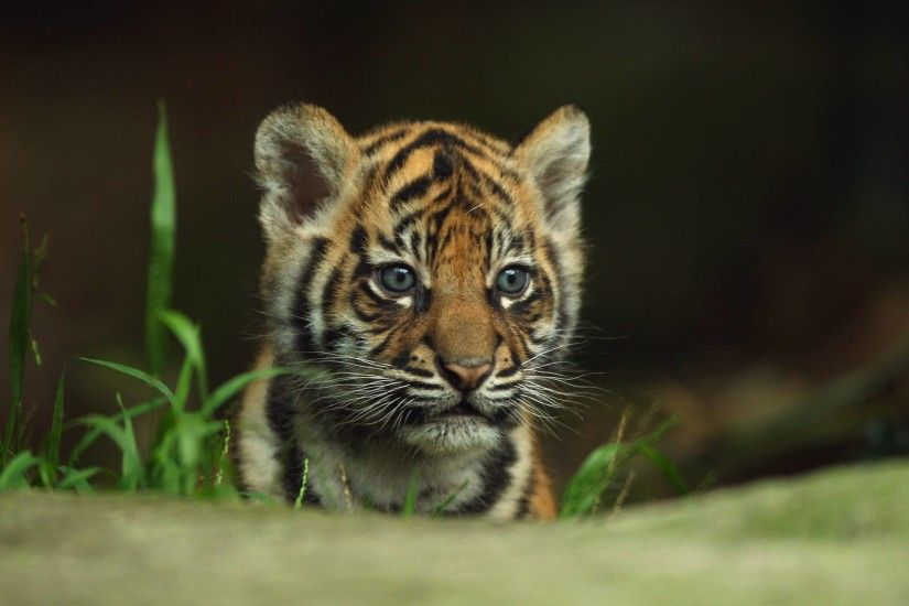 Beautiful Tiger Wallpapers free download