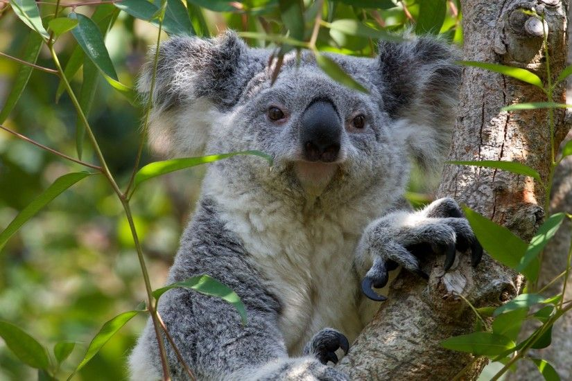 Koala Bear wallpaper - Click picture for high resolution HD wallpaper