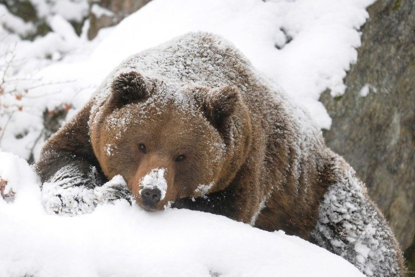 Big Brown Bear In Snow for 1920x1080