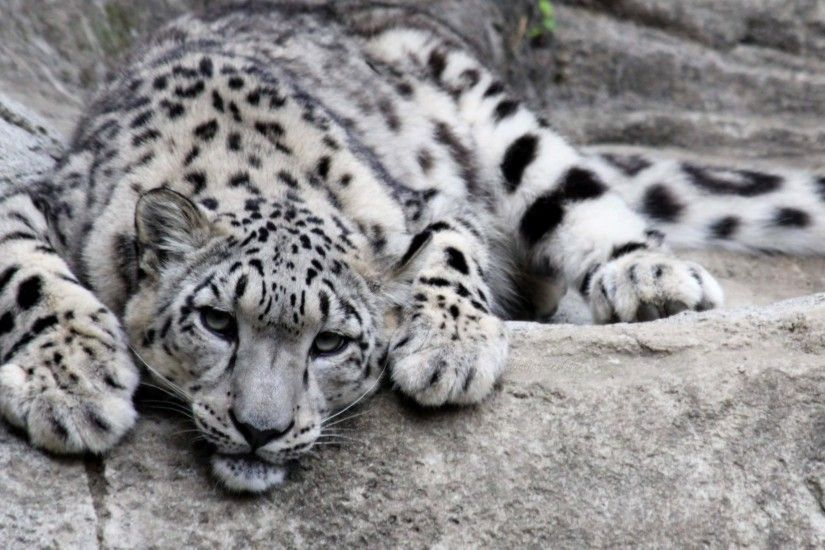 Presenting the best stunning pictures of Leopards that include African  Leopards, Snow Leopards, Clouded Leopard HD images and wallpapers for  bedrooms, ...