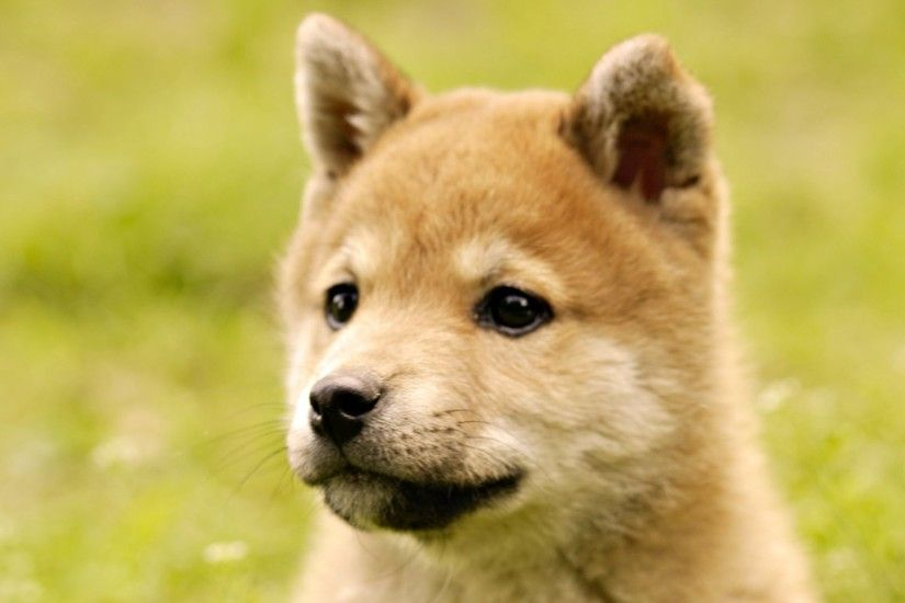 Shiba Inu Puppy Pictures - Wallpaper HD Base