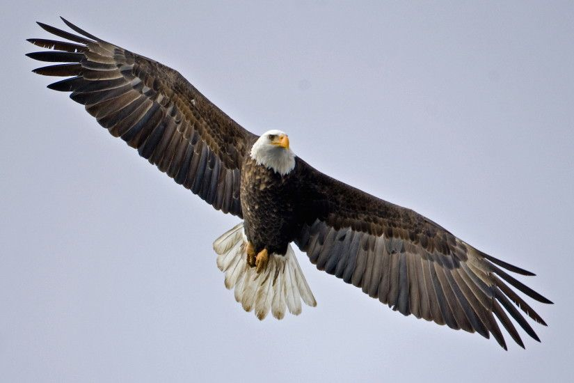 Majestic Eagle Wallpapers Download HD Eagle Images For Free 1920×1200 Eagle  Wallpapers Free Download (64 Wallpapers) | Adorable Wallpapers | Pinterest  ...