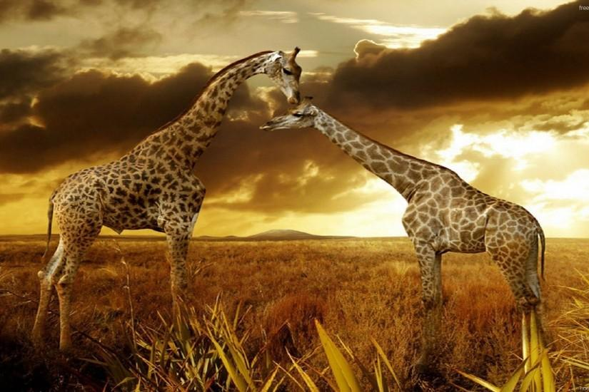African giraffes in the sunset as background
