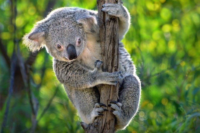 High Quality koala picture - koala category