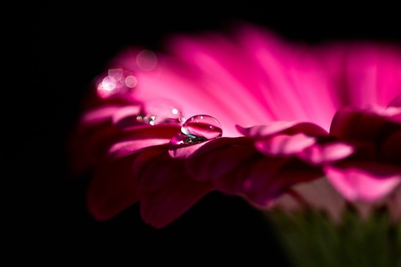 Tags: Gerbera Flowers, Pink ...
