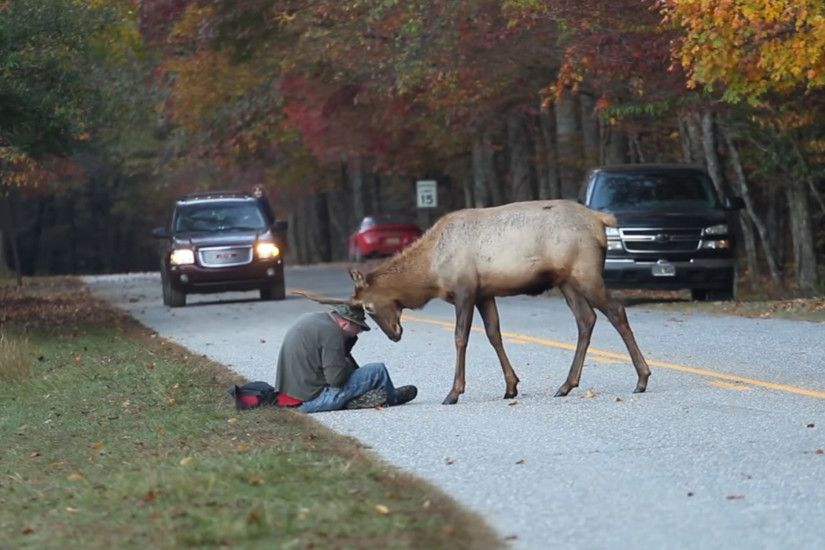 Elk Euthanized for Head Butting Photographer -