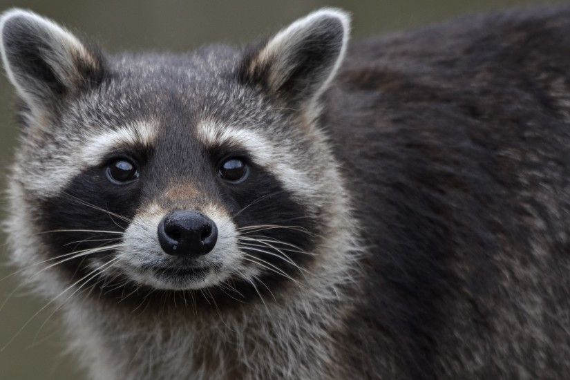 Raccoon Close Up Wallpaper 43650