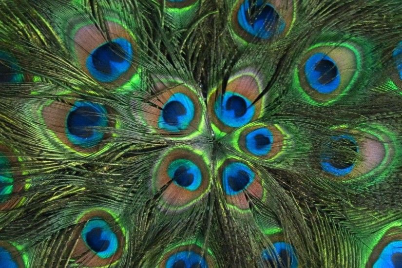 1 Peacock Feathers HD Wallpaper 1291 :: Feathers Hd Wallpapers