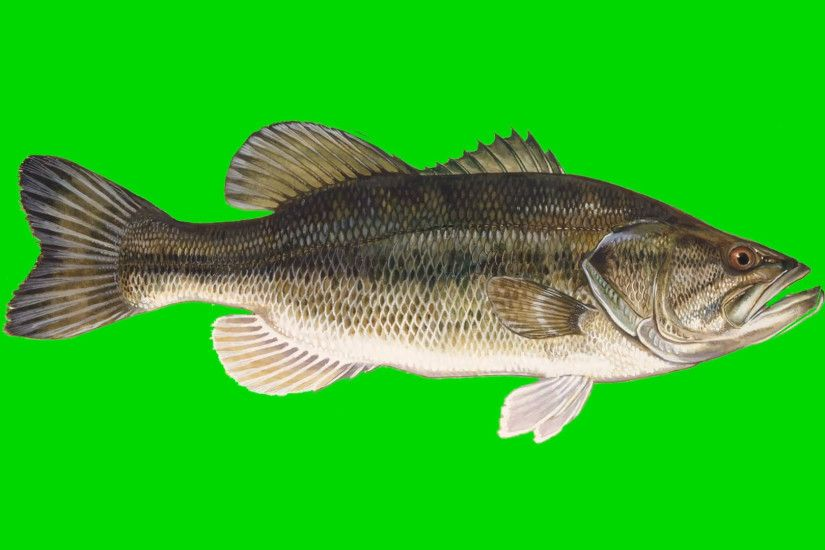 Beautiful Illustration of Bass Fish Swimming on a Green Screen Background  Motion Background - VideoBlocks