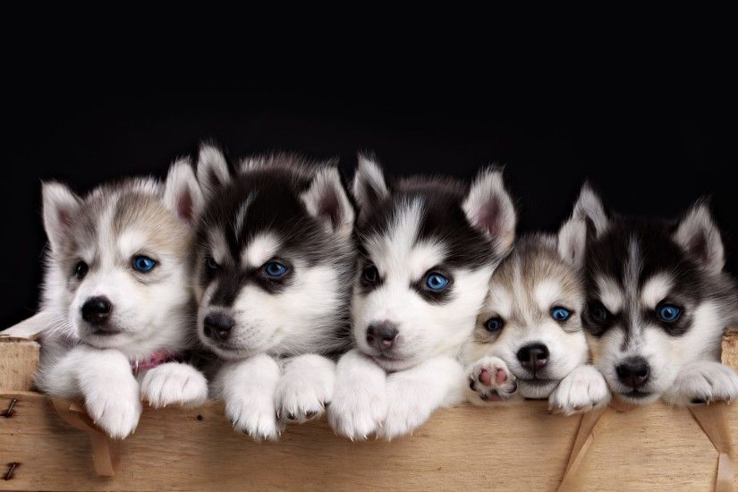 Husky Puppies Wallpaper HD For Desktop Of Miniature Husky