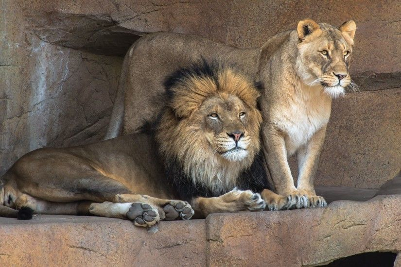 ... lion and lioness HD Wallpaper 2560x1440 Mighty ...