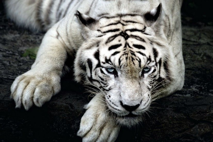 Preview wallpaper tiger, albino, lie, muzzle 3840x2160