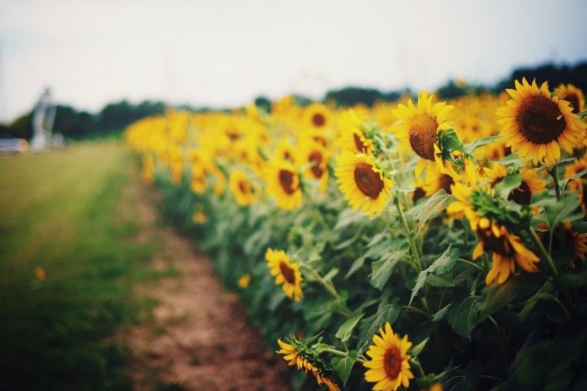 <b>Sunflower Desktop Wallpapers</b> - THIS <b>Wallpaper