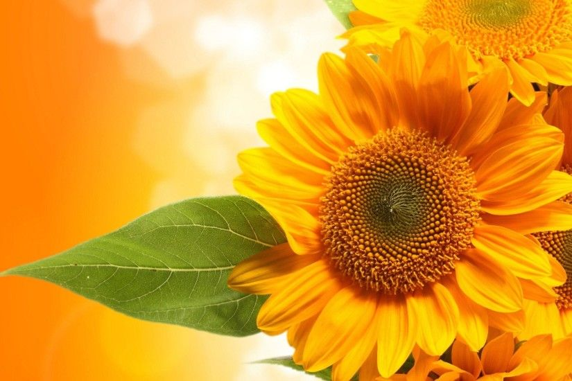 Sunflower Desktop Wallpapers Free - Wallpaper Cave