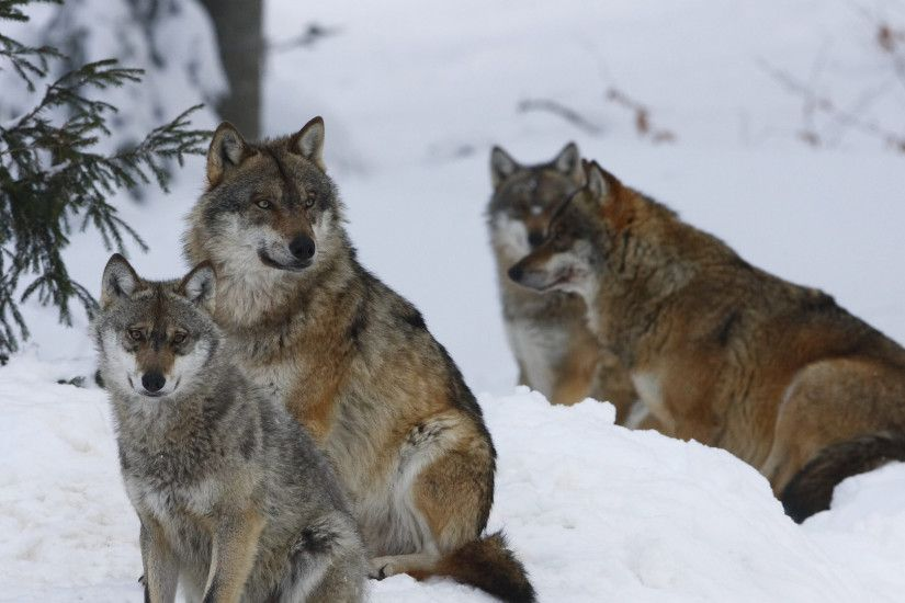1920x1080 Wallpaper pack, wolves, winter, snow, forest