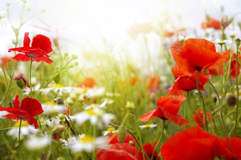Colorful Poppy Flowers Wallpapers - 2560x1600 - 1946625