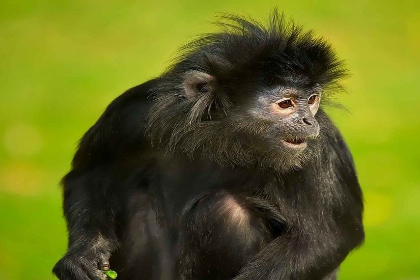 Spider Monkey Wallpaper | Spider Monkey Pictures | Cool Wallpapers