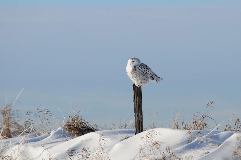 78 Snowy Owl Wallpapers | Snowy Owl Backgrounds