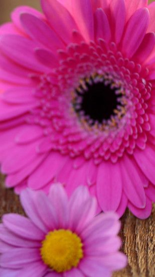 1440x2560 Pink, Magenta, Love, Gerbera, Daisy Wallpaper for Google Pixel  XL, Meizu Pro 7, Nokia 8, HTC U, Huawei P10 Quad HD