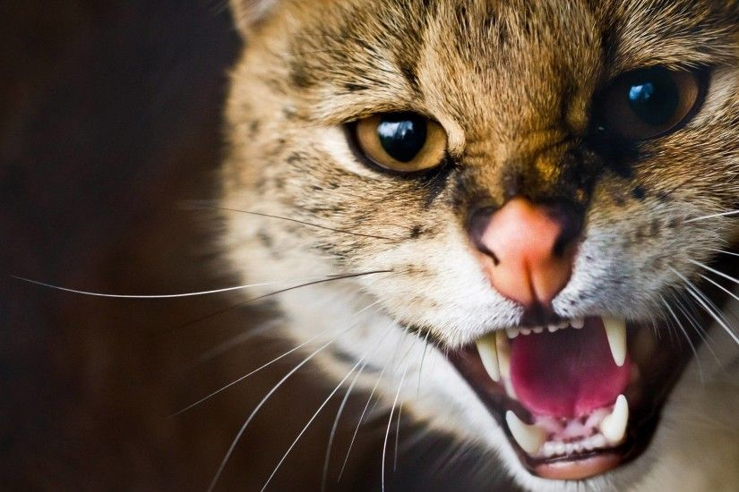 Wild cat wallpaper - Animal wallpapers - #