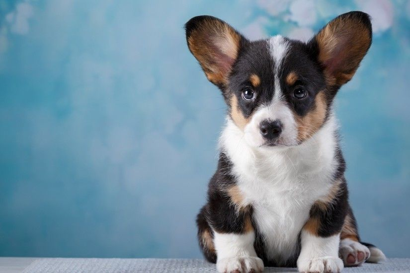Pictures Puppy Welsh Corgi Dogs Animals 2048x1152