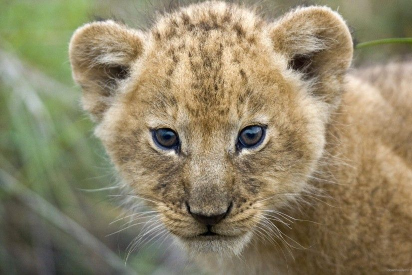 HD Little Lion Cub wallpaper