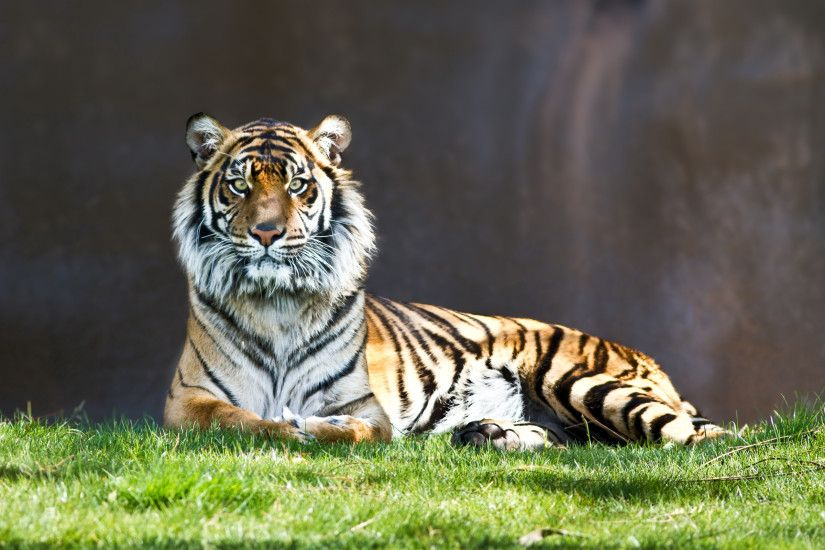 Tiger Staring Wallpaper - http://www.56pic.com/animals-