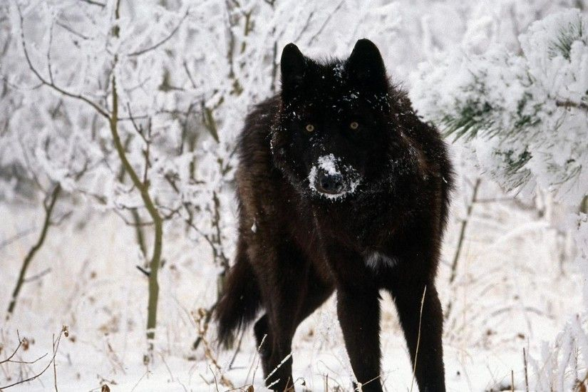 Black-Wolf-Wallpapers