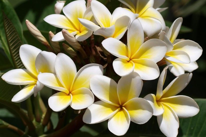 Wallpaper Plumeria, Flowers, Buds, Green, Beautifully