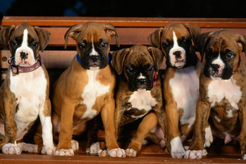 ... Boxer Puppy Desktop Background 3 Free Hd Wallpaper .